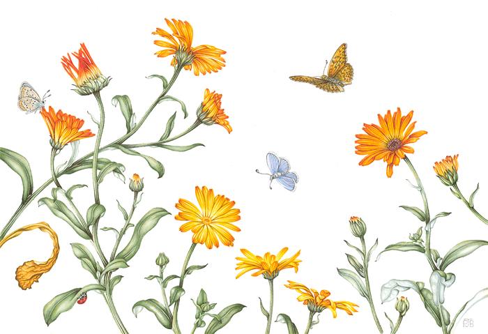 PBrown_ButterflyMarigolds_Resized