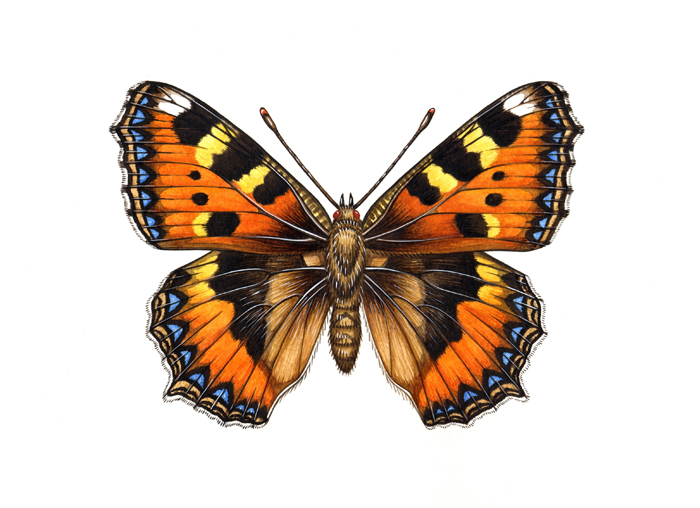 small-tortoiseshell-resized