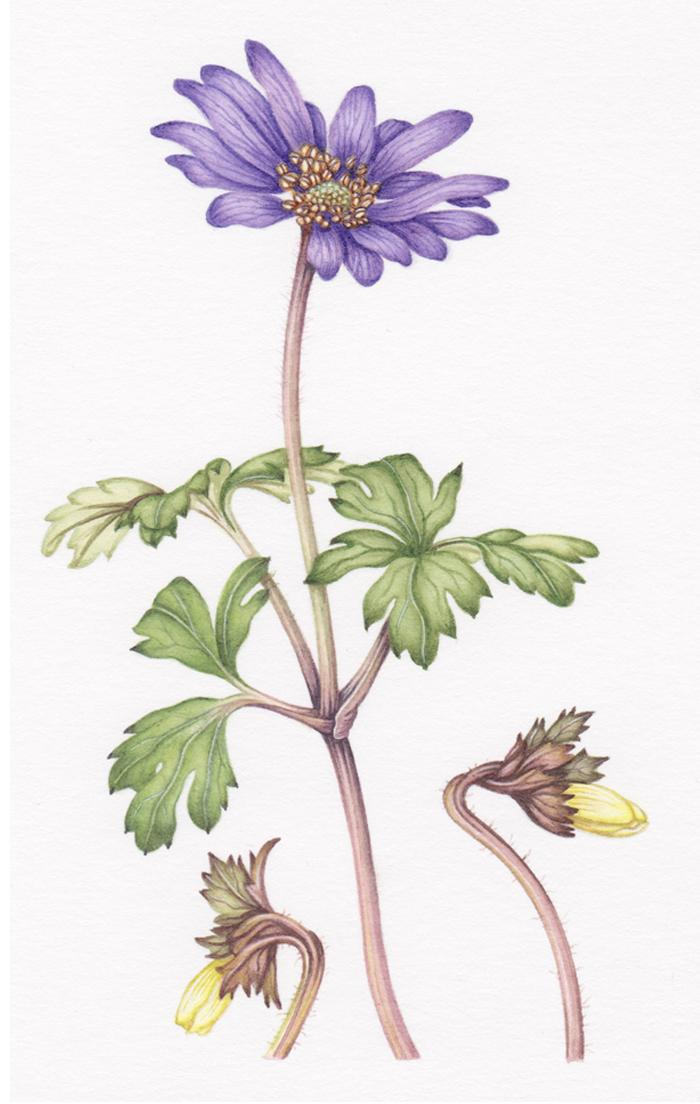anemone-blanda-resized