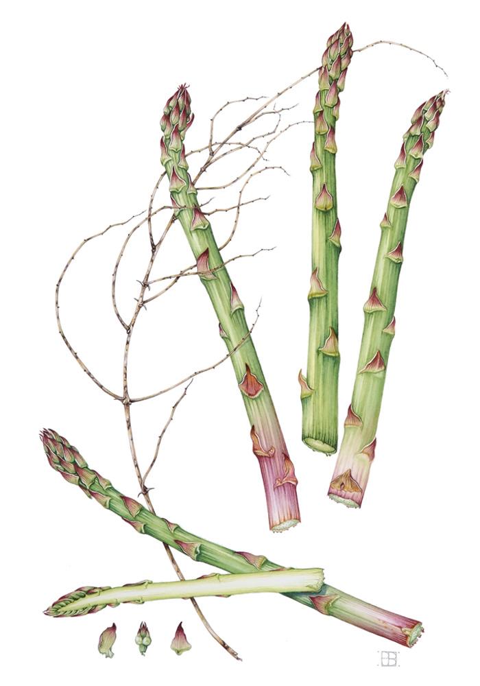 asparagus-resized