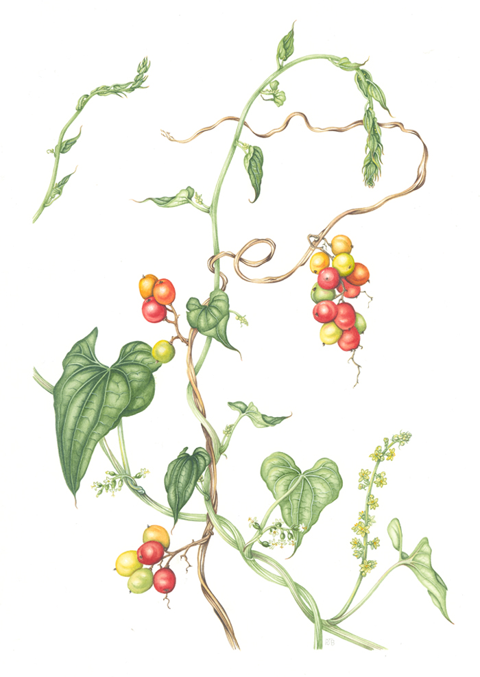 black-bryony-resized