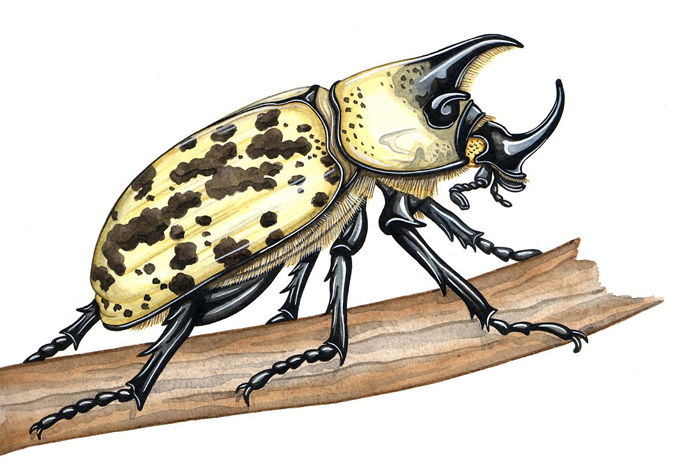eastern-hercules-beetle-edit