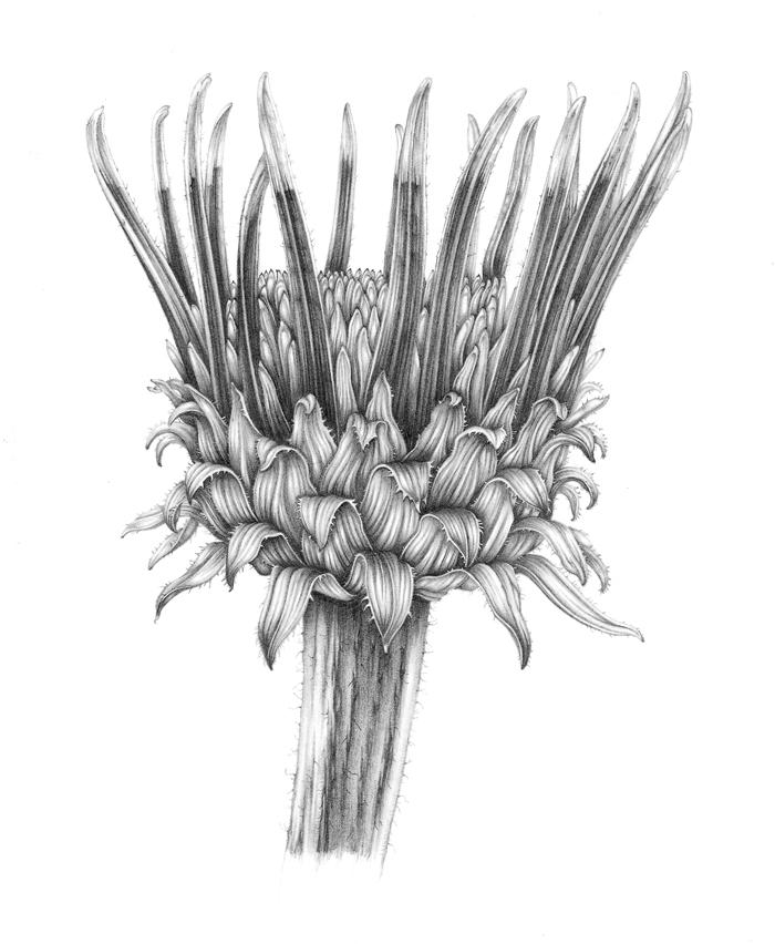 echinacea-bud