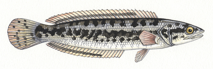 giant-snakehead-resized