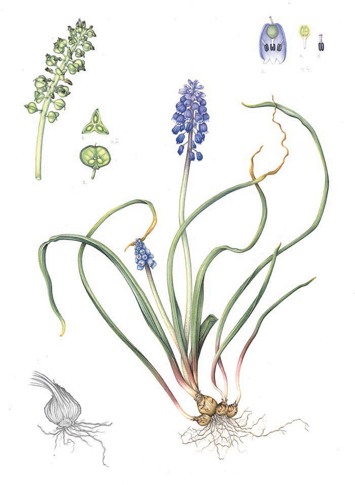 grape-hyacinth-resized