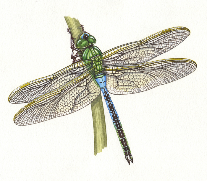 green-darner-resized