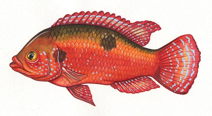jewelfish-resized