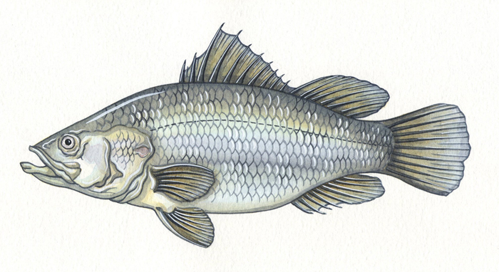 nile-perch