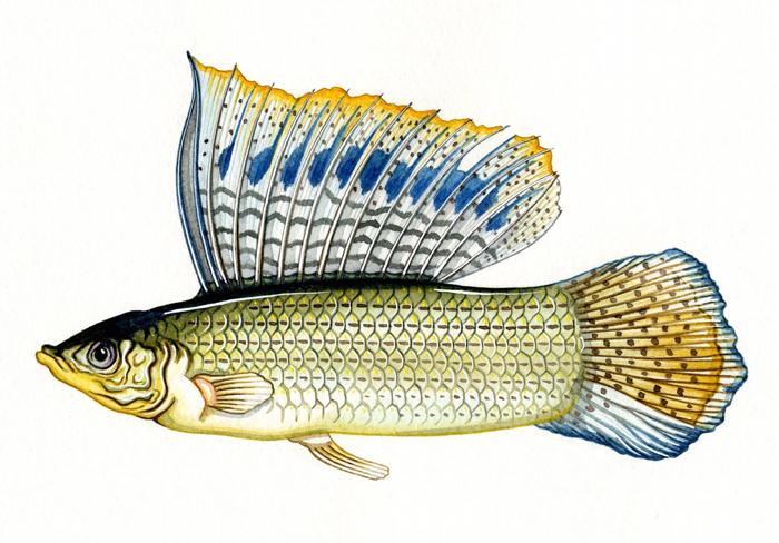 sailfin-molly-resized