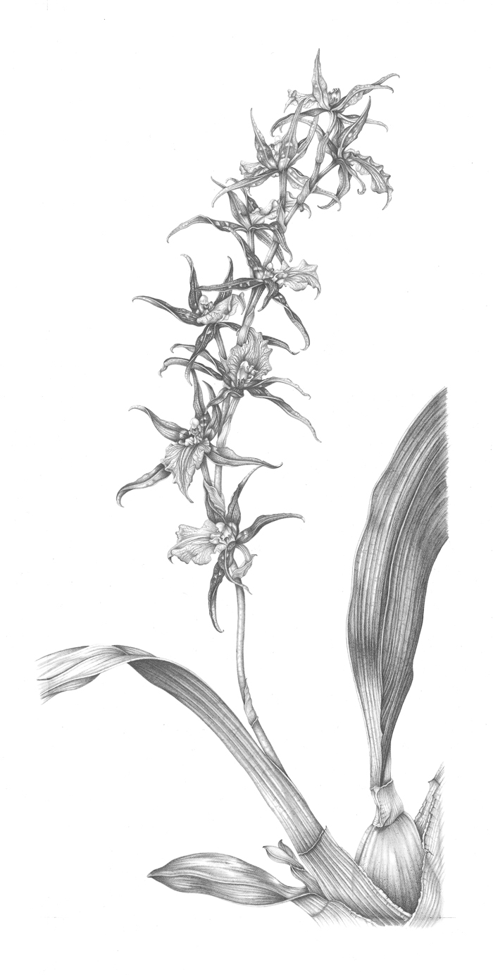 spider-orchid-resized