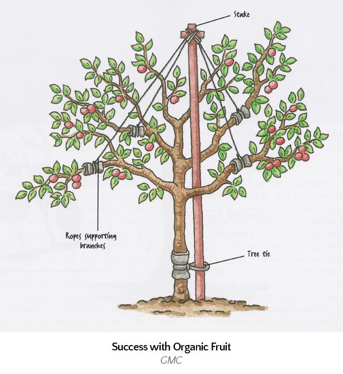 maypolled-tree
